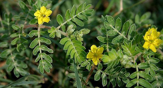 Tribulus terrestris - Kotvičník zemní